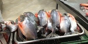 red bellied piranhas for sale in the plaza minorista